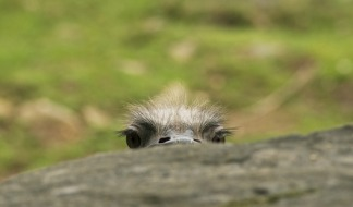 Peek-eyes.Ostrich